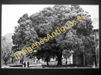 Arceniega - Encina vieja